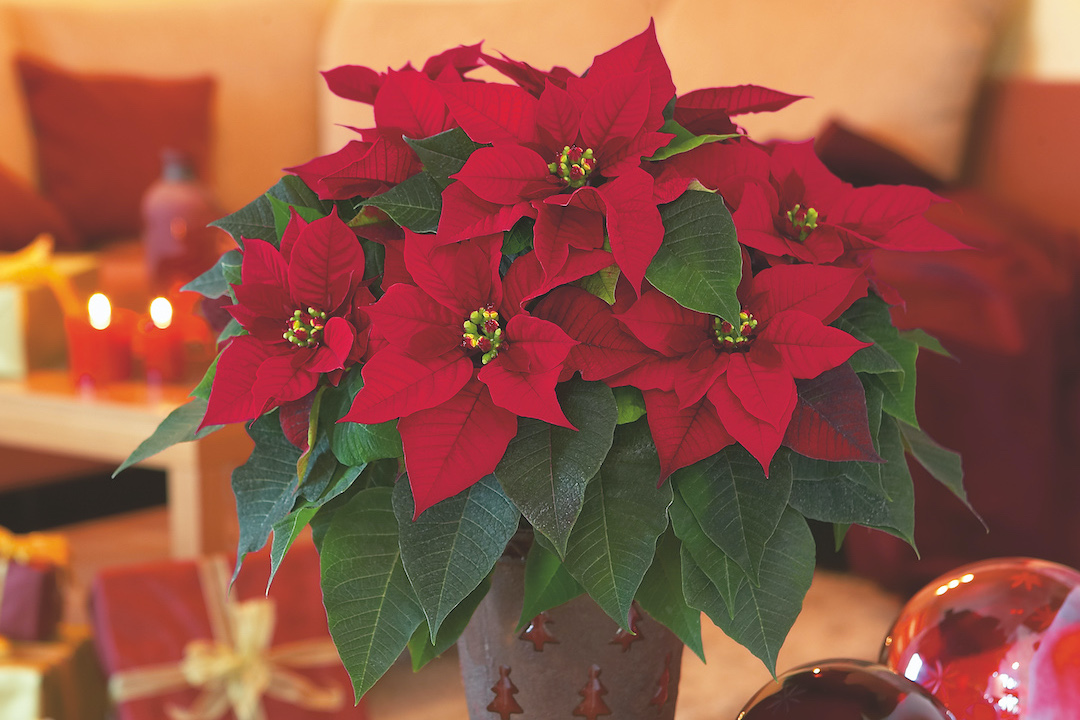 Poinsettia_rouges.jpeg